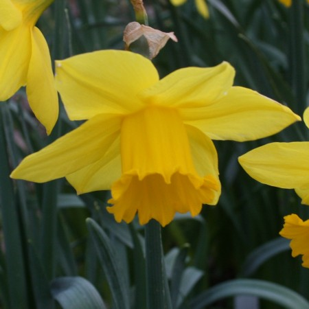 Croft 16 Daffodils - Div 2a, 'California'