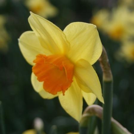 Croft 16 Daffodils - Div 2a, 'Carbineer'