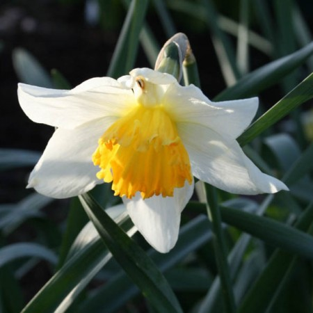 Croft 16 daffodils - Div 2W-YYO, 'Bernardino'
