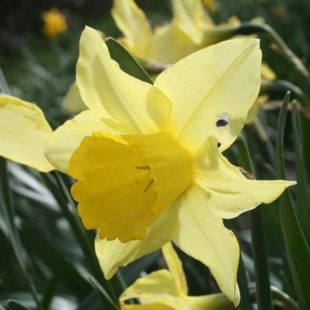 Croft 16 daffodils - Div 2Y-Y, BIGGAR BOUNTIFUL