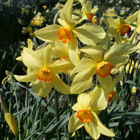 Croft 16 daffodils - Div 3Y-YYO, 'Brilliancy'