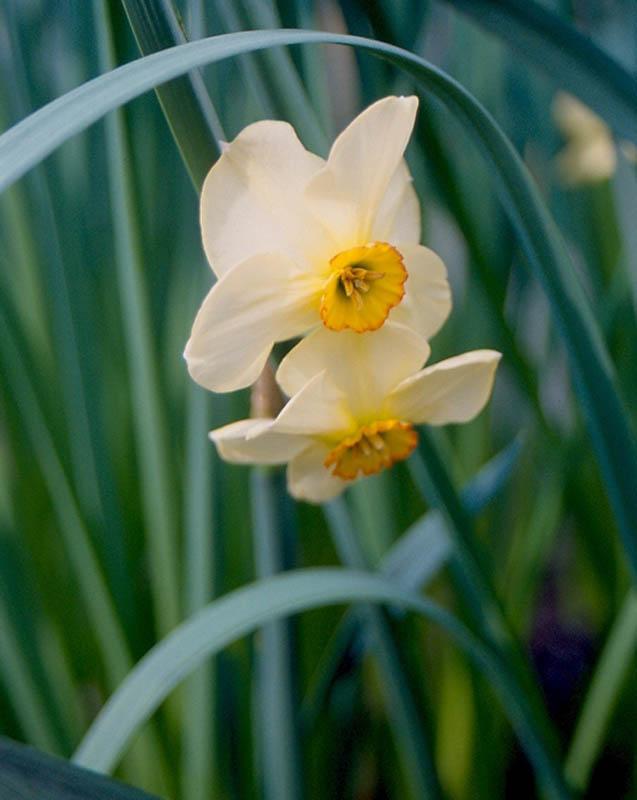 Daffodil Gallery Croft 16 Daffodils