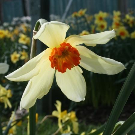 croft-16-daffodils-div-23y-oor-brightling