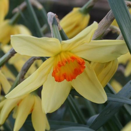 Croft 16 Daffodils - Div 3a, 'Bath's Flame'