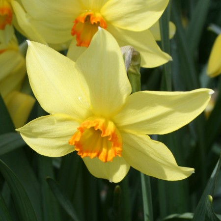 Croft 16 Daffodils - Div 3a, 'Conspicuus' (Barrii)