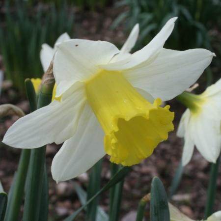 Croft 16 Daffodils - Div 4a, 'Brunswick', young fl
