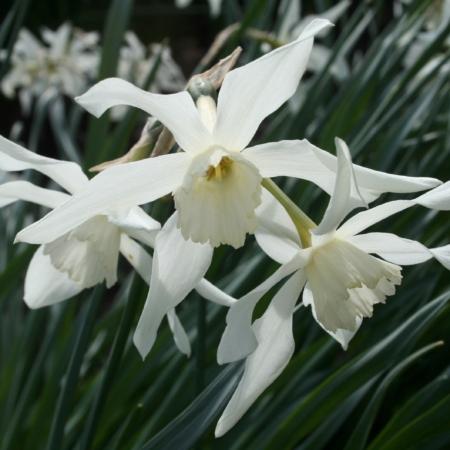Croft 16 Daffodils - Div 4b, 'Amabilis'