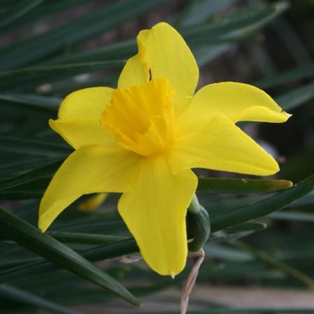 Croft 16 Daffodils - Div 7, 'Bolton'