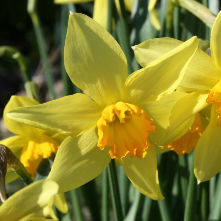Croft 16 Daffodils - BALMACARA BEAUTY
