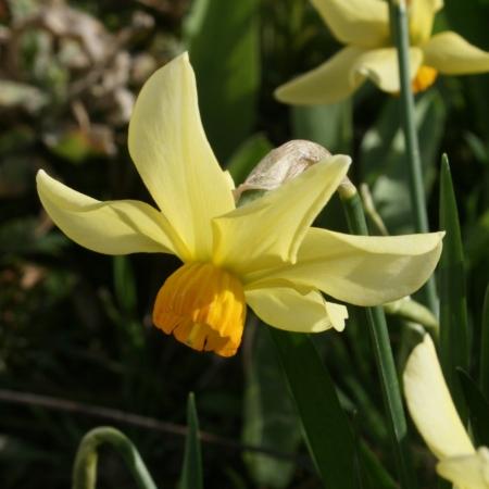 Croft 16 Daffodils - 'Beryl'